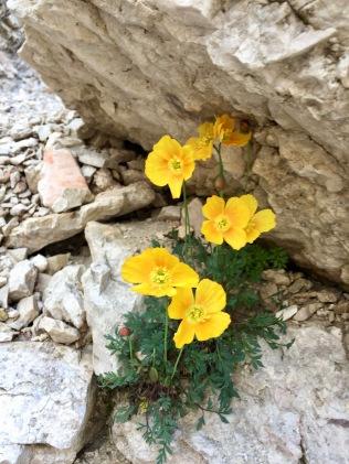 Papaveri Alpini